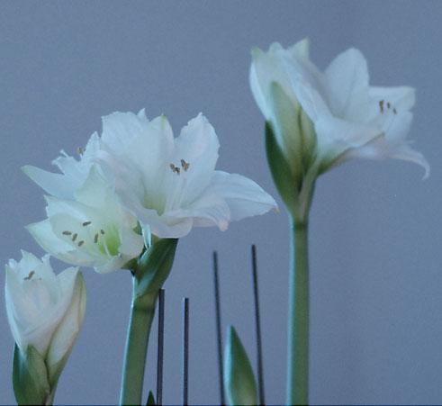amaryllis11.jpg