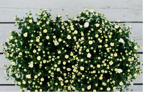 krysantemum-kopiera.jpg
