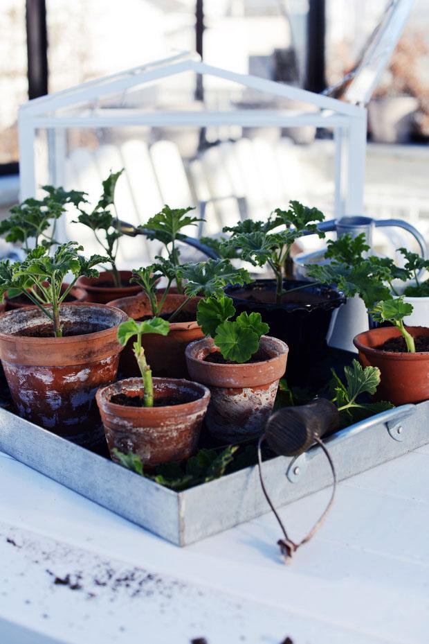 pelargonplantering