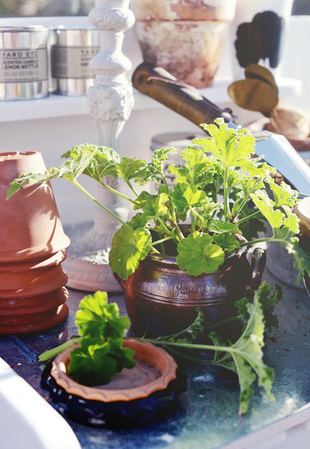 planteringsticklingar