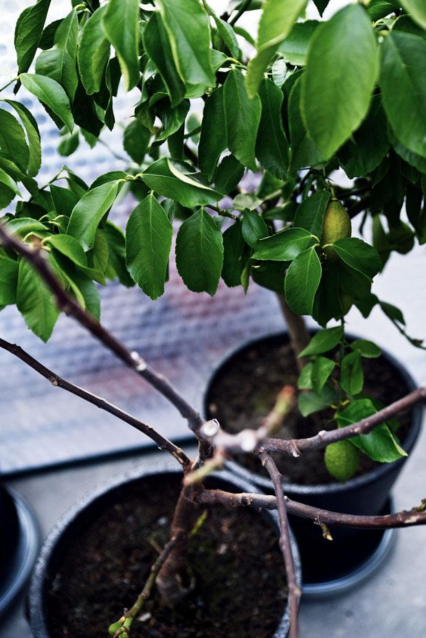 växthusvintercitron