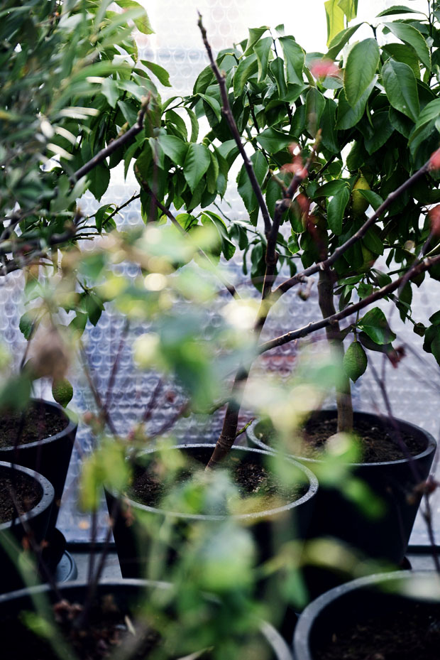 växthusvinterväxter