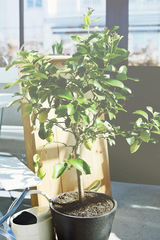 citronträdmars