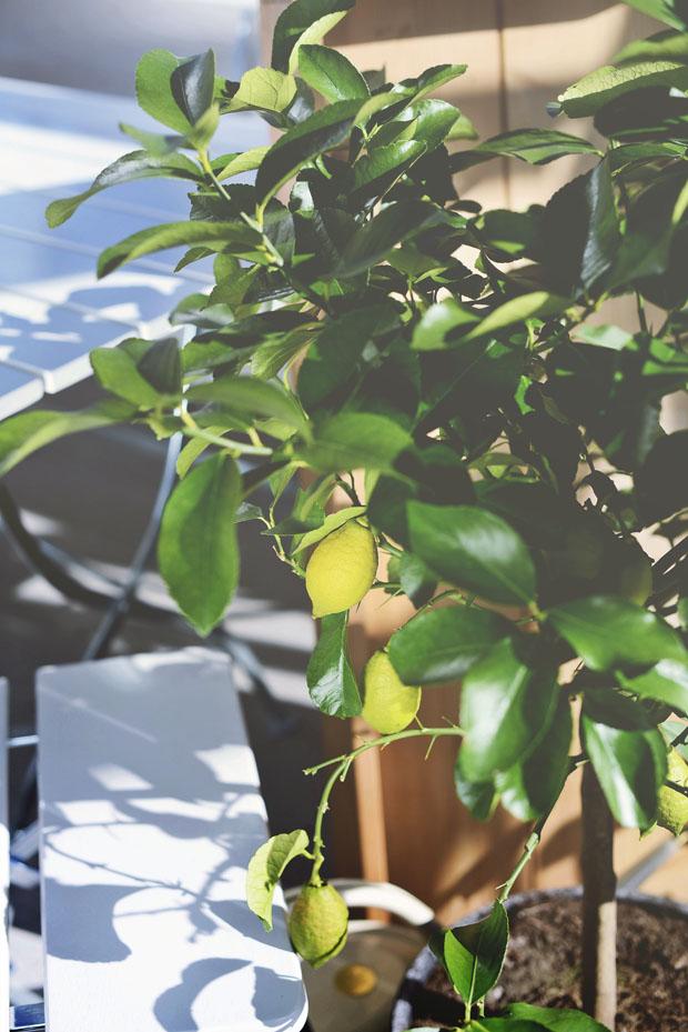 citronträdväxthus