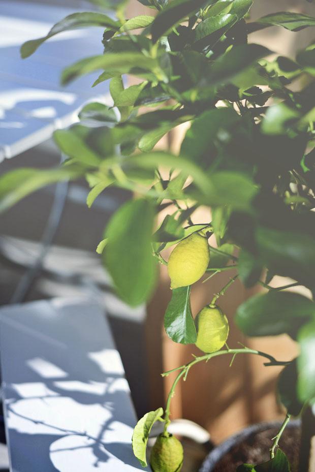 växthuscitroner