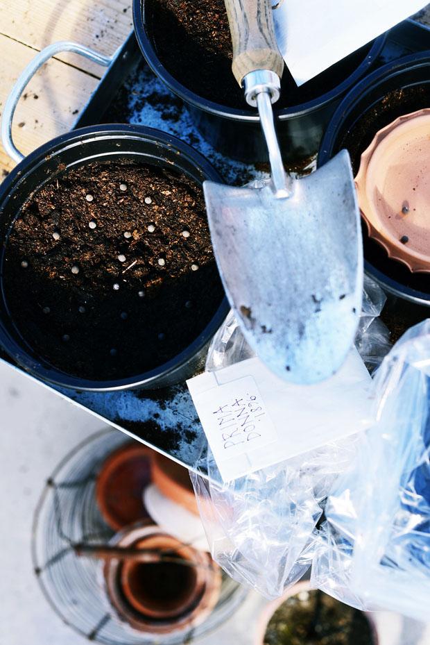 växthusplanteringluktärtor