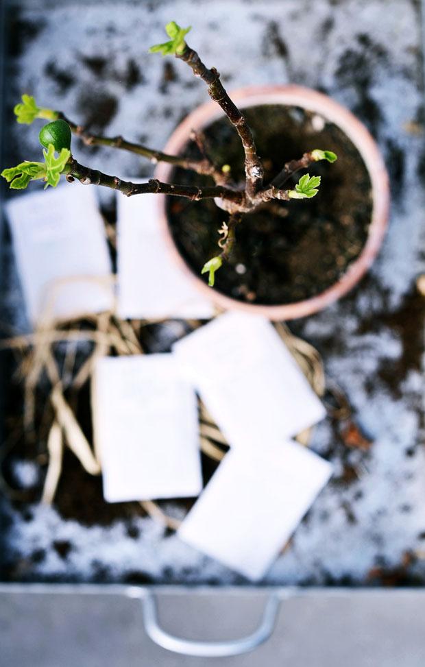 växthusfikonvår
