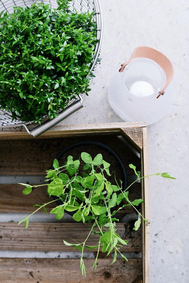 växthusluktärtorapril