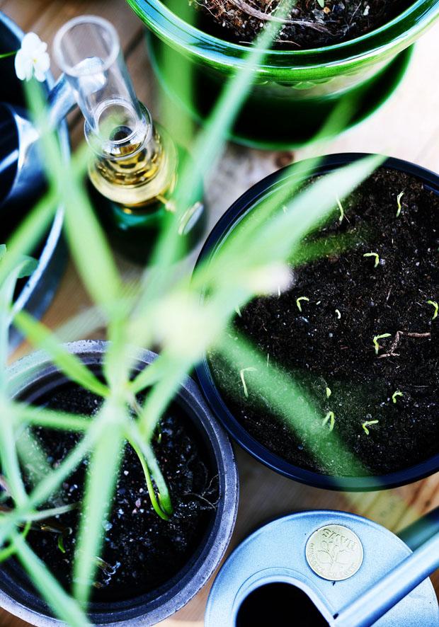 växthusluktärtorgror