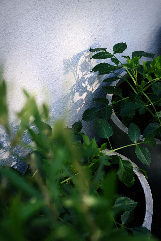 växthusetmajdahlior