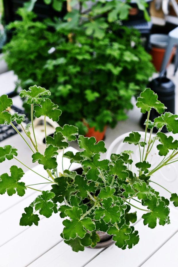 växthustomentosum