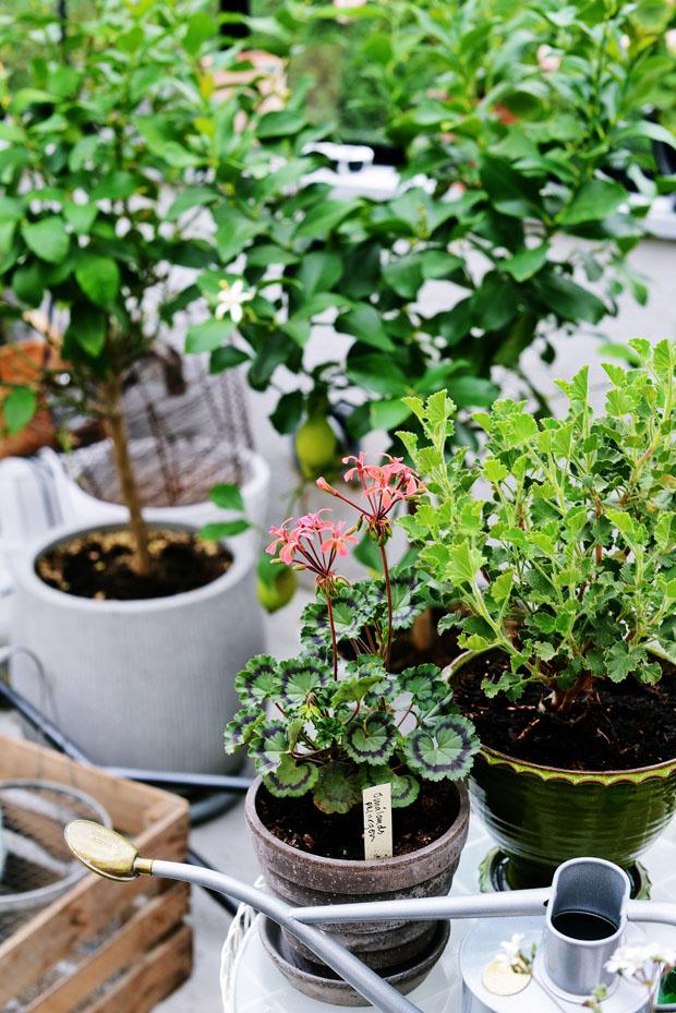 växthussmåländskpelargon